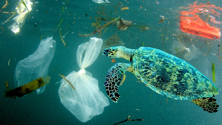 Plastic pollution in ocean environmental problem. Turtles can eat plastic bags mistaking them for jellyfish (Photo by Rich Carey/Shutterstock.com)